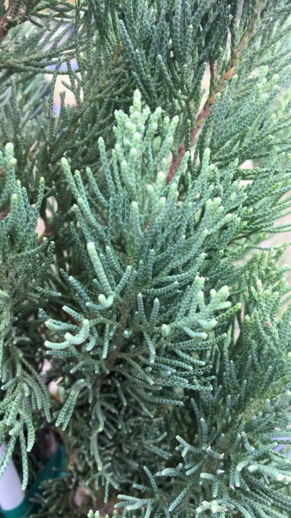 3 Important Reasons To Plant Evergreen Trees In Your Yard