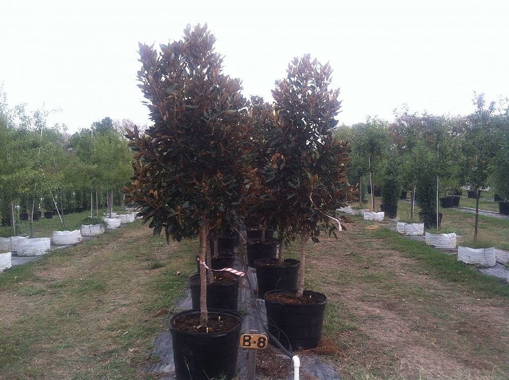 Southern Magnolia Chambersville Tree Farms