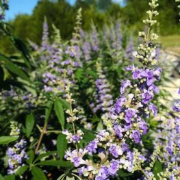 Vitex - Shoal Creek Vitex