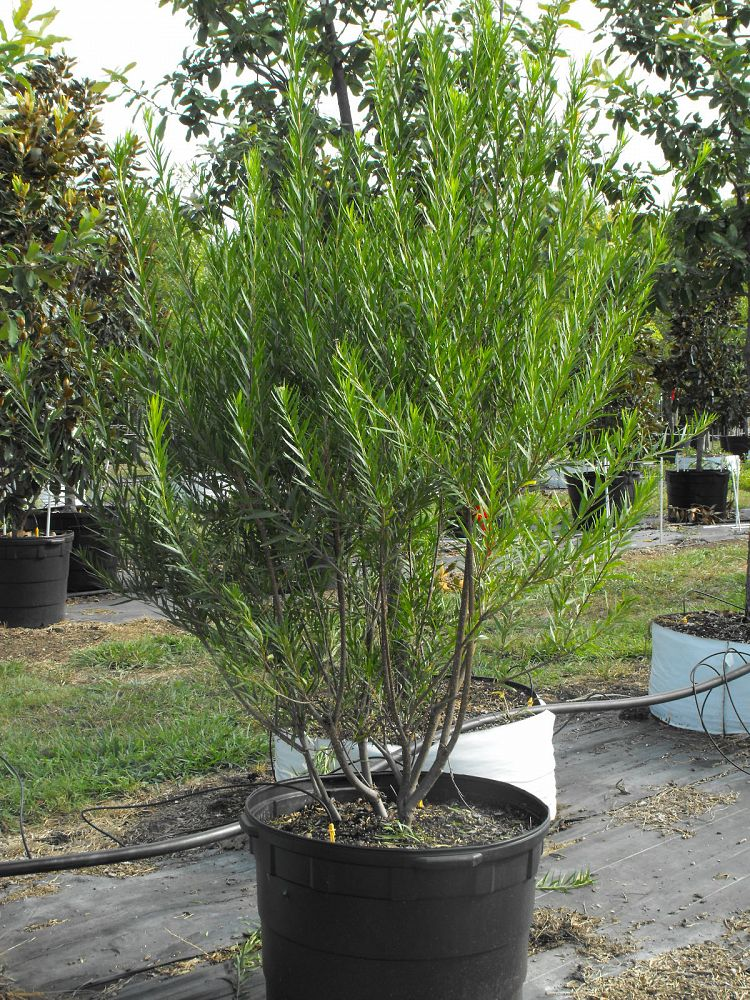 Willow Bubba Desert Willow Chambersville Tree Farms