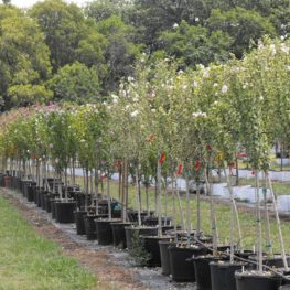 Althea Rose Of Sharon Double Pink Chambersville Tree Farms