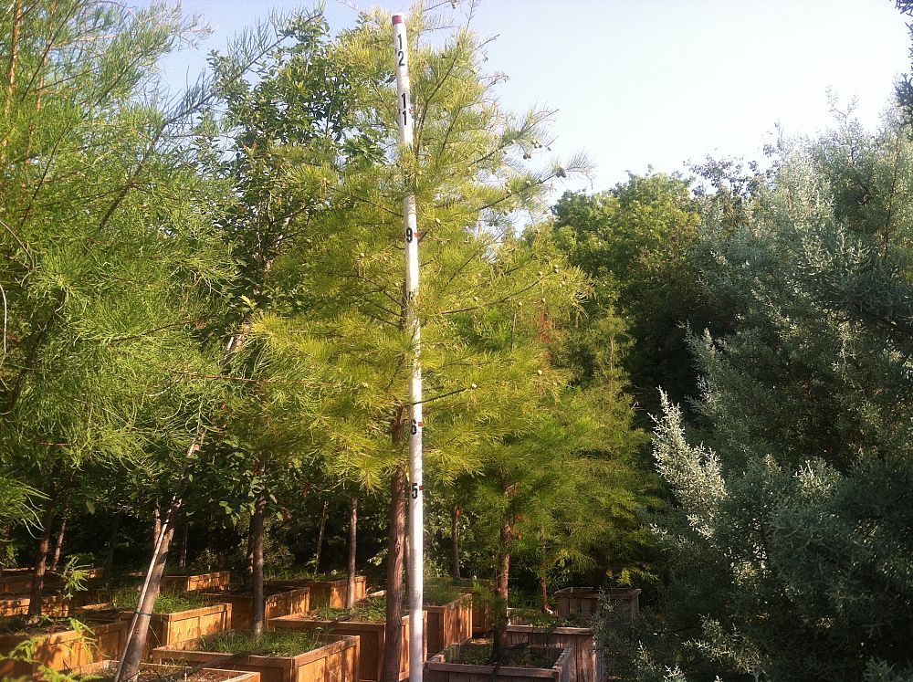Tips For Growing Great Pond Cypress Trees