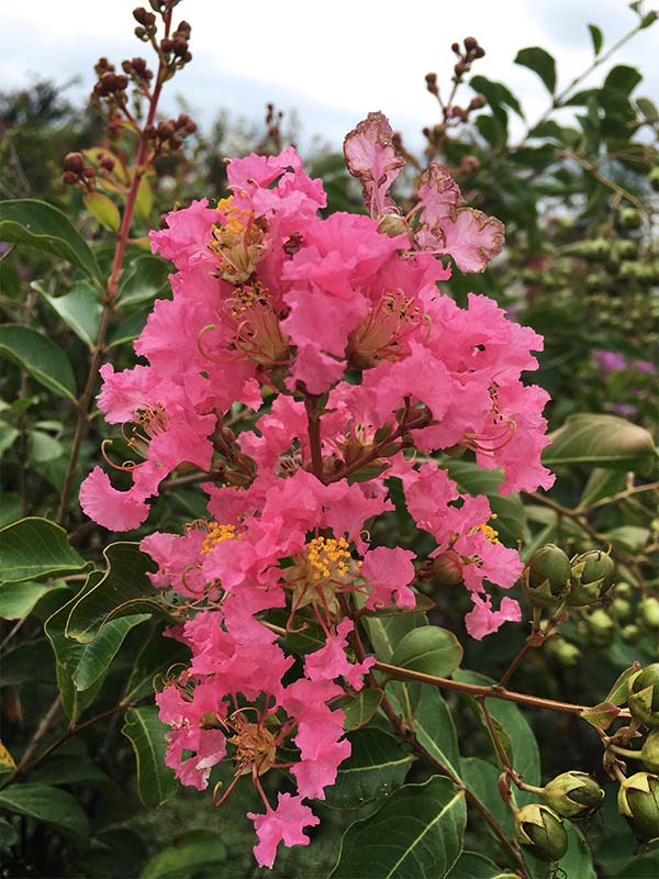 What You Should Know Before Choosing a Crape Myrtle