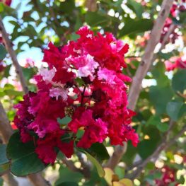 Crape Myrtle - Red Rocket