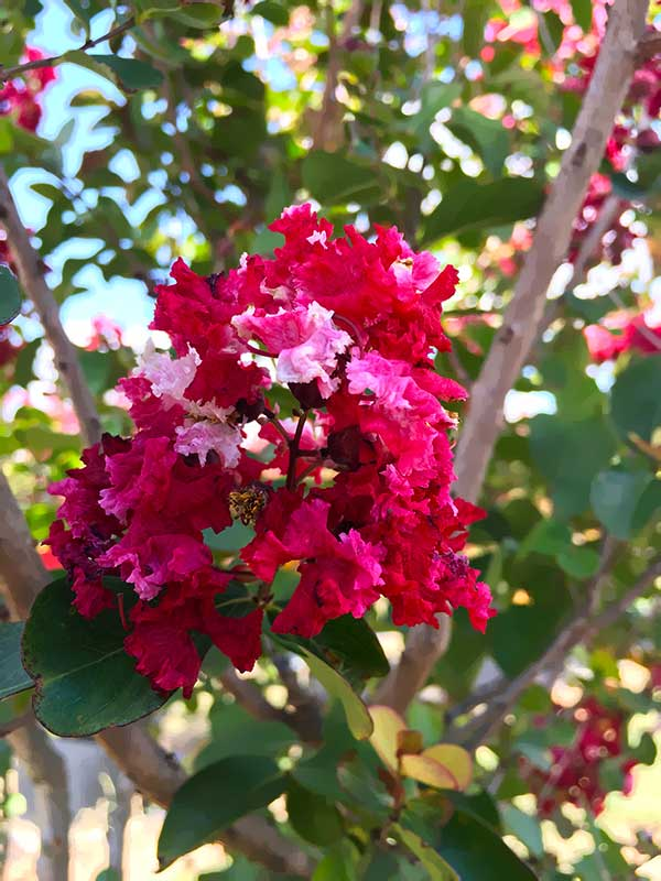 Crape Myrtle – Red Rocket