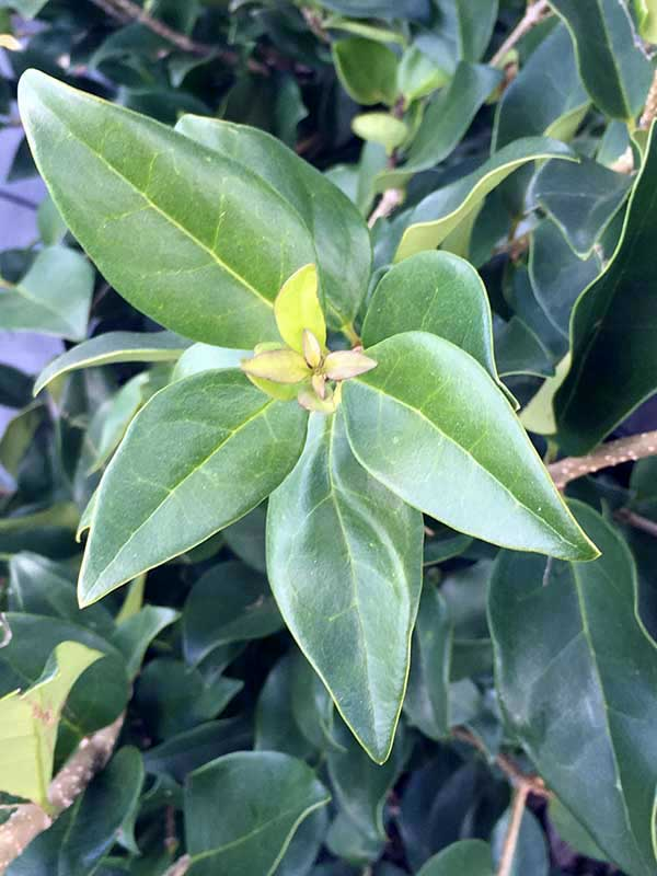 Ligustrum – Wax Leaf Ligustrum