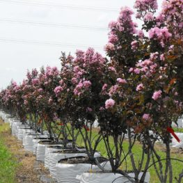 Crape Myrtle Double Feature Chambersville Tree Farm