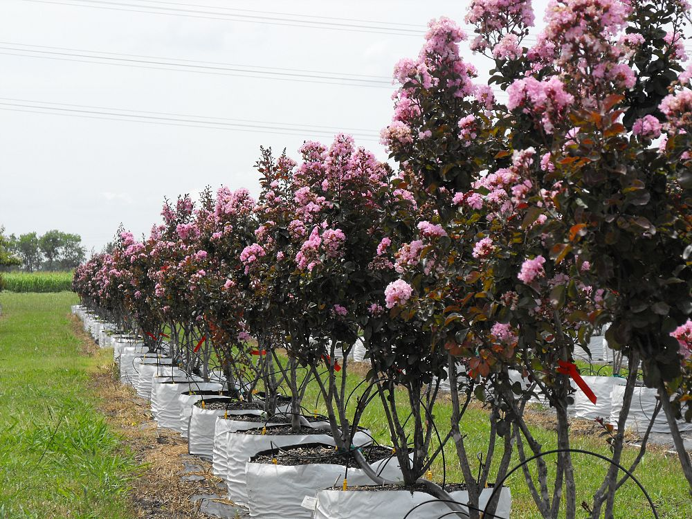 Crape Myrtles Are The Lilacs Of The South