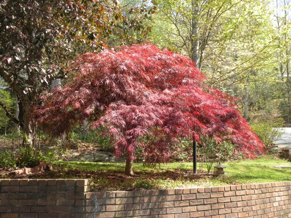 Protecting Anese Maples From Winter