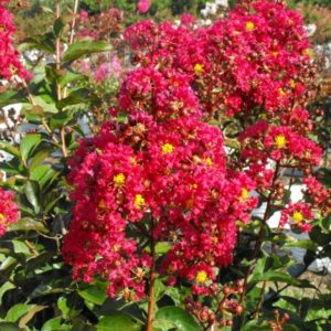 Beautify Your Landscaping With Crape Myrtles