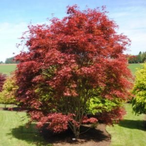 Versatile Landscaping with Japanese maples