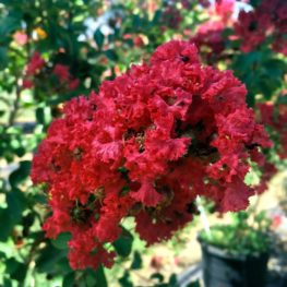 Crape Myrtle - Dallas Red