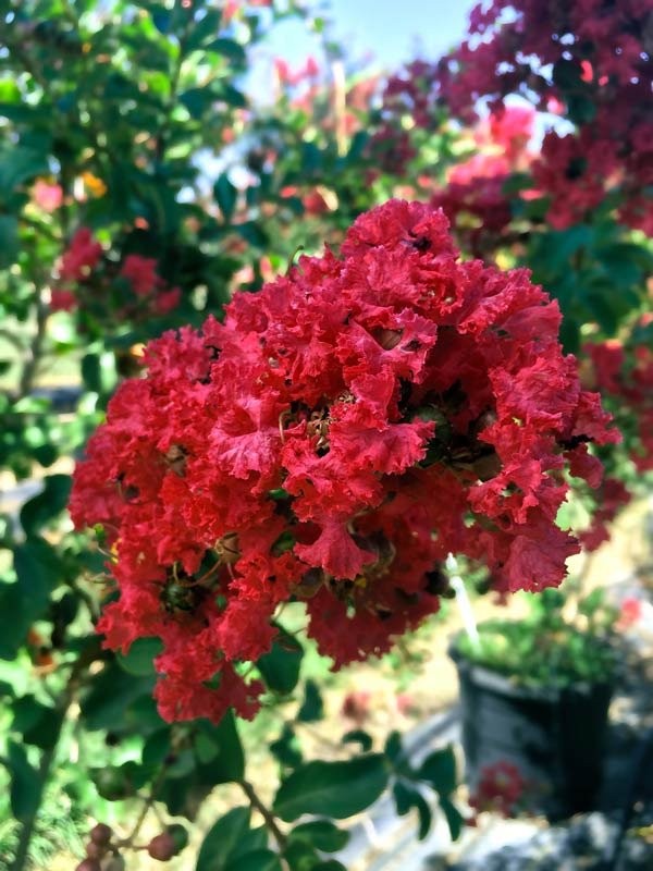 Crape Myrtle – Dallas Red