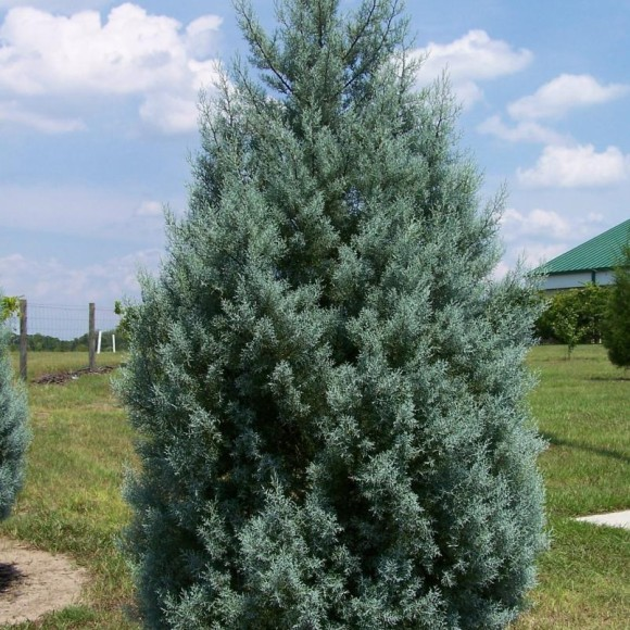 3 Tips for Pruning Your Evergreen Trees