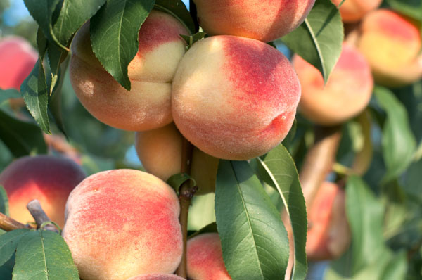 Keeping Fruit Trees Healthy Year-Round