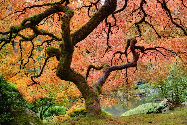 Japanese Maples Are Beautiful Trees