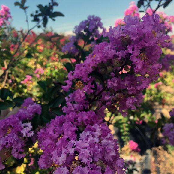 Crape Myrtle - Twilight
