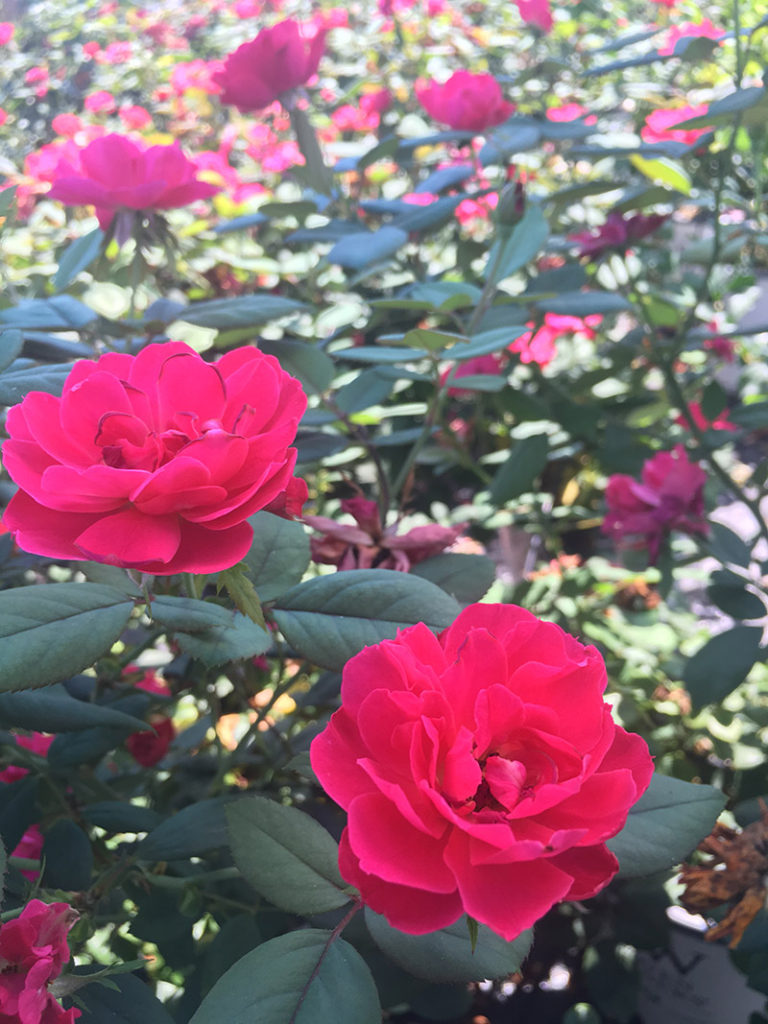 Enhance Your Landscape With Colorful Roses