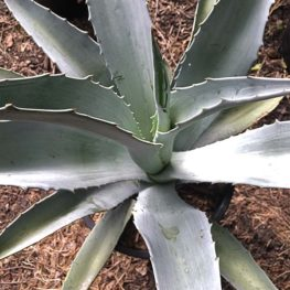 Century Plant Agave