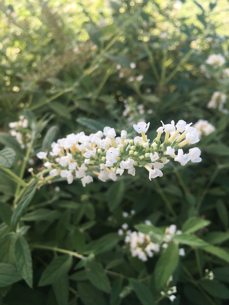 Butterfly Bush – Icy Chip