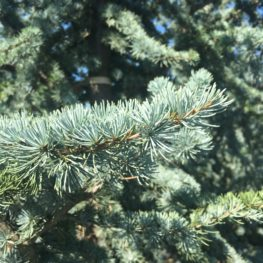 trees-blue-atlas-cedar-upright-cedar-cover-photo