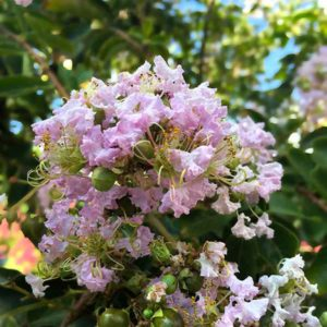 Bashams Party Pink Crape Myrtle