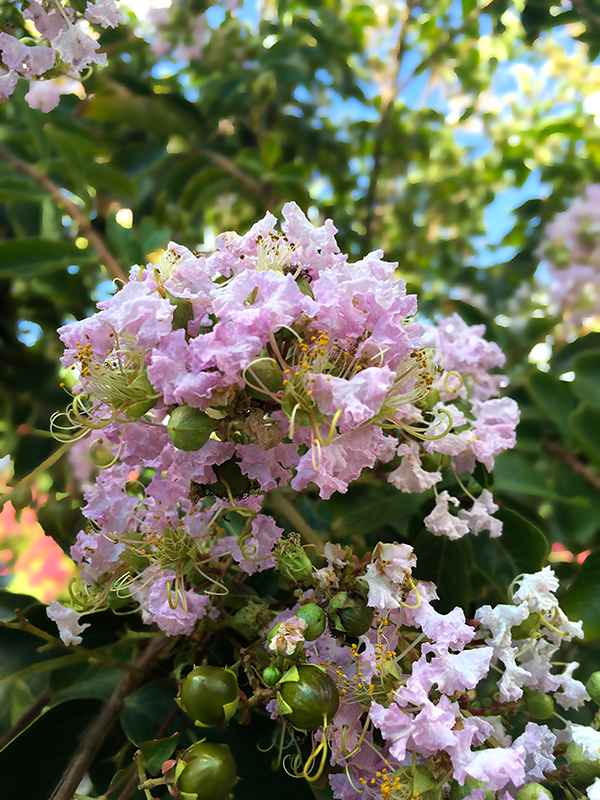 Crape Myrtle – Bashams Party Pink