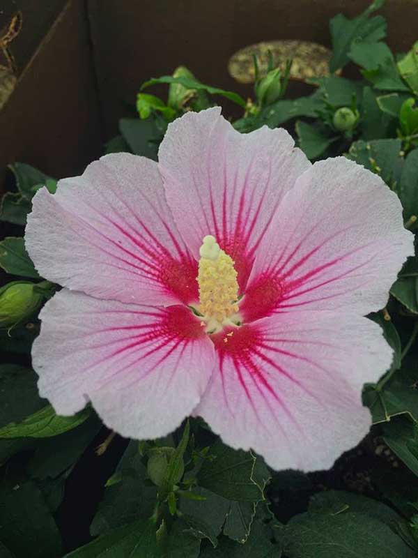 Orchid Satin Rose of Sharon