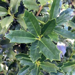 Oakleaf Holly