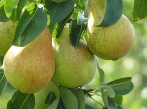 Ayers Pear