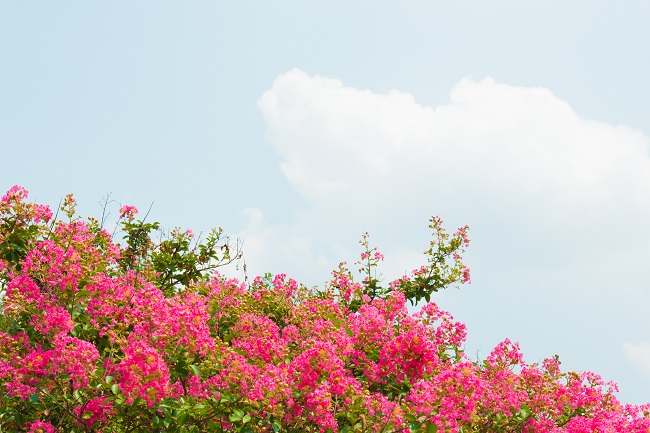 Choose Crape Myrtles for a Profusion of Summer Flowers
