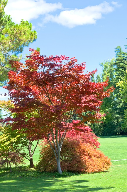 Japanese Maples Add Unique Depth, Texture, Shape, And Color To Any Yard Or Garden