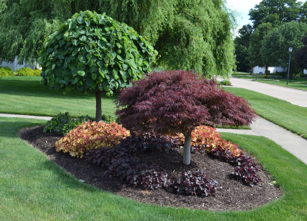 Graceful and Sculptural Japanese Maples