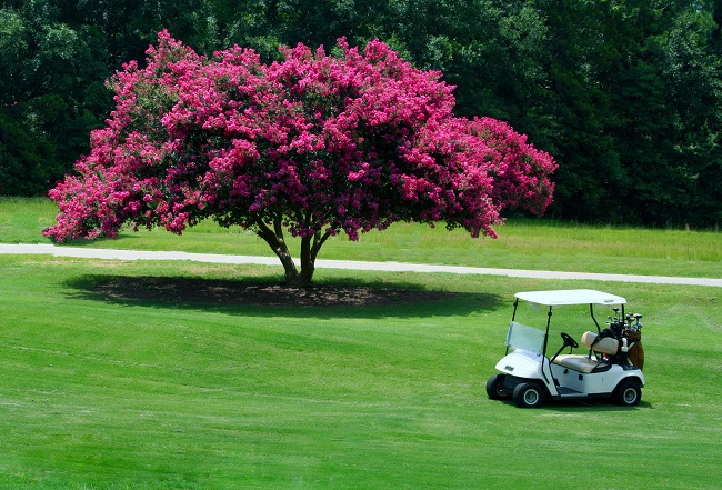 The Southern Spotlight - Crepe Myrtle