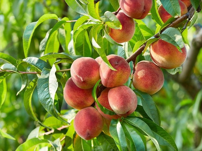 Caring For Your Fruit Tree in Texas