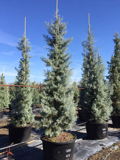Care Tips For The Gorgeous Cypress