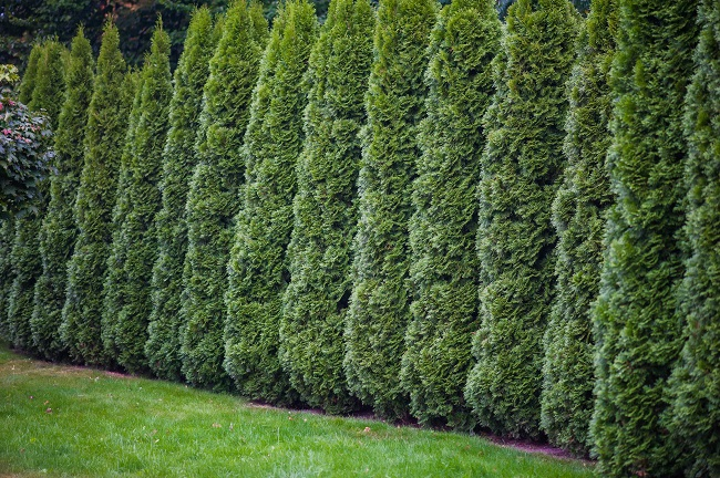 4 Tips for Creating a Privacy Fence With Trees