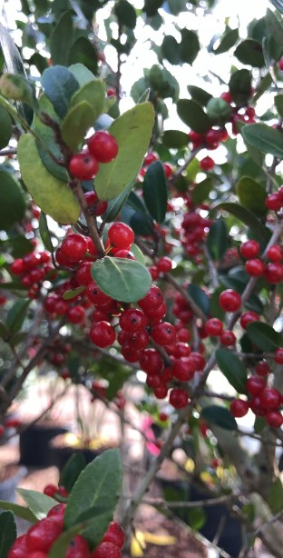 Holly – Dwarf Yaupon