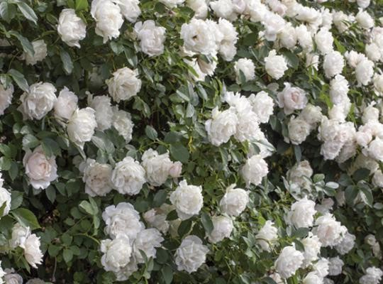 For Beautiful Landscaping Try Roses