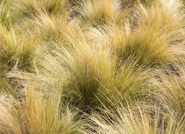 A Look At Gorgeous Mexican Feather Grass