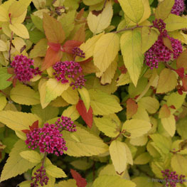 Double Play Red Spirea
