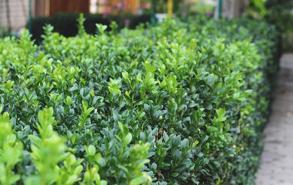 The Charm of Modern Boxwoods