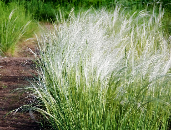 Mexican Feather Grass - A Native Must-have For The Sun Garden
