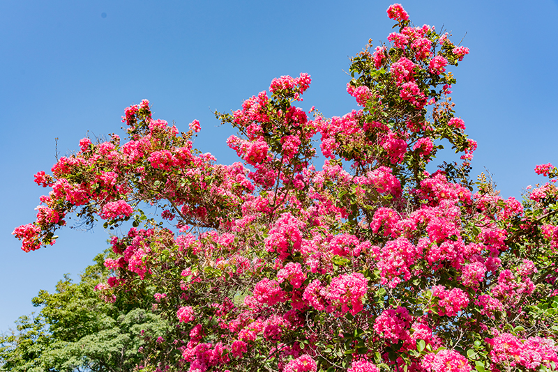 Crape Myrtles are a Great Choice for Variety