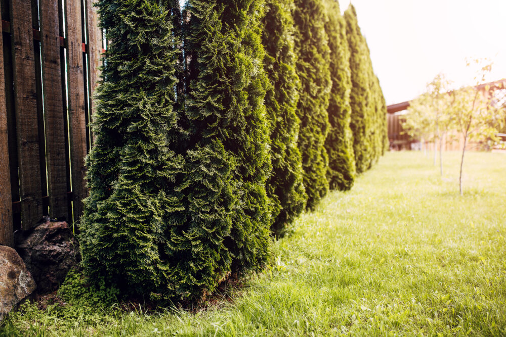 A Living Fence is the Ideal Choice for Privacy