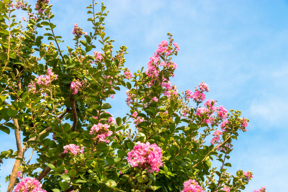 When is the Best Time for Pruning Crape Myrtles?