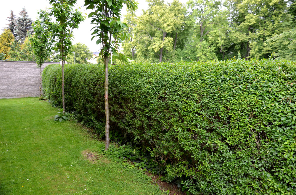 Best Trees for an Attractive Privacy Screen